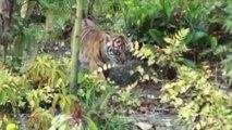 Première sortie pour les bébés tigres de Londres