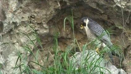 Le faucon pèlerin DV 16-9 (6'43'')