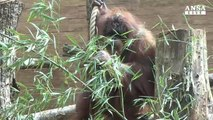 Nuova casa per gli oranghi nel Bioparco di Roma