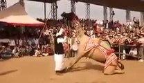 Amazing Camal Dance Camal Dancing on Dhol Beat Amazing Video