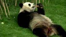 Les pandas belges ont reçu la visite du président chinois