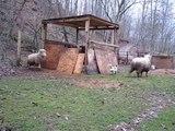Sheep Has Identity Crisis as She Behaves Like a Dog