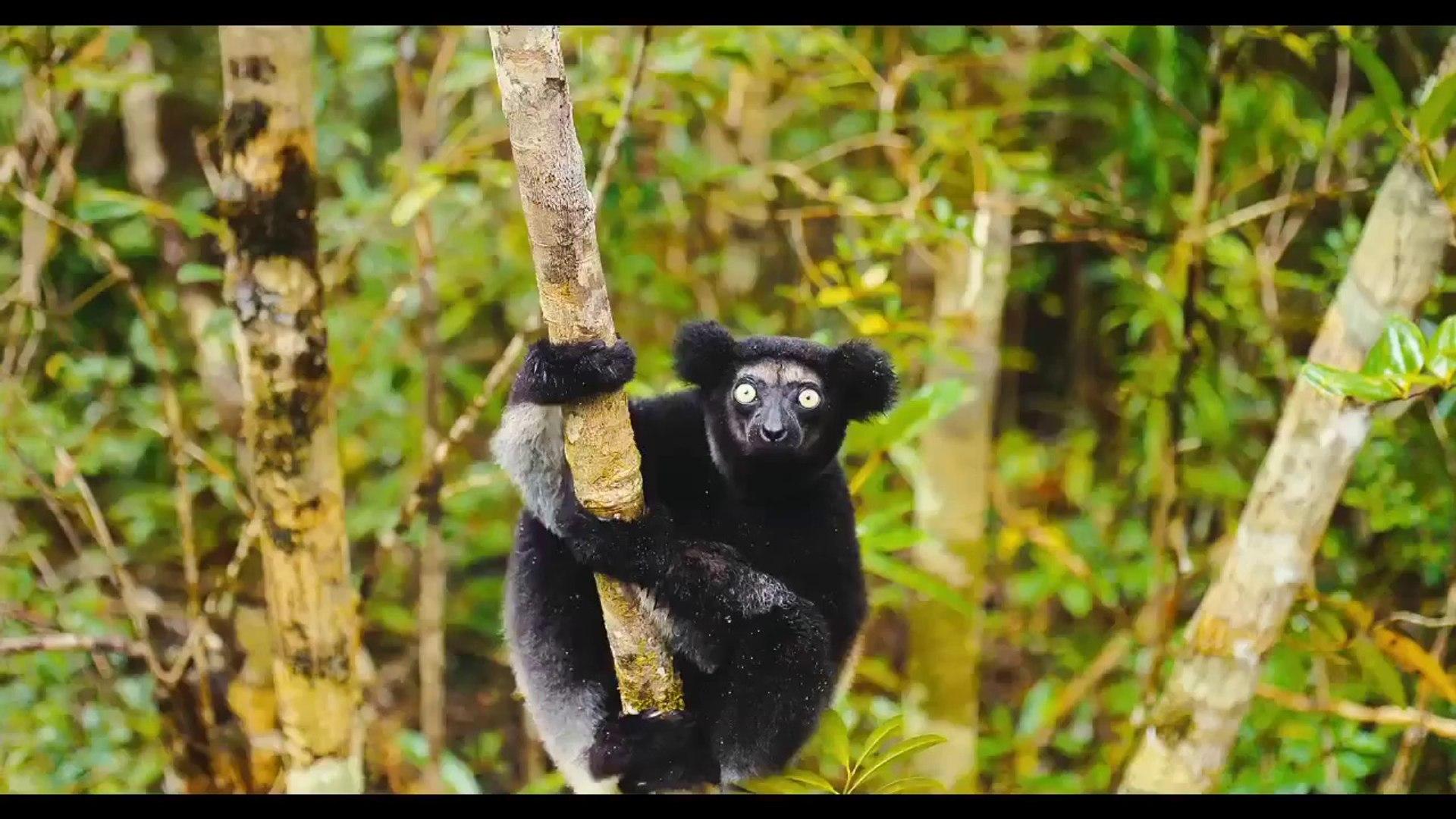 Island of Lemurs  Madagascar TV SPOT 1 (2014) - Nature Documentary HDIsland of Lemurs  Madagascar TV