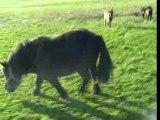 Gros poney qui broute