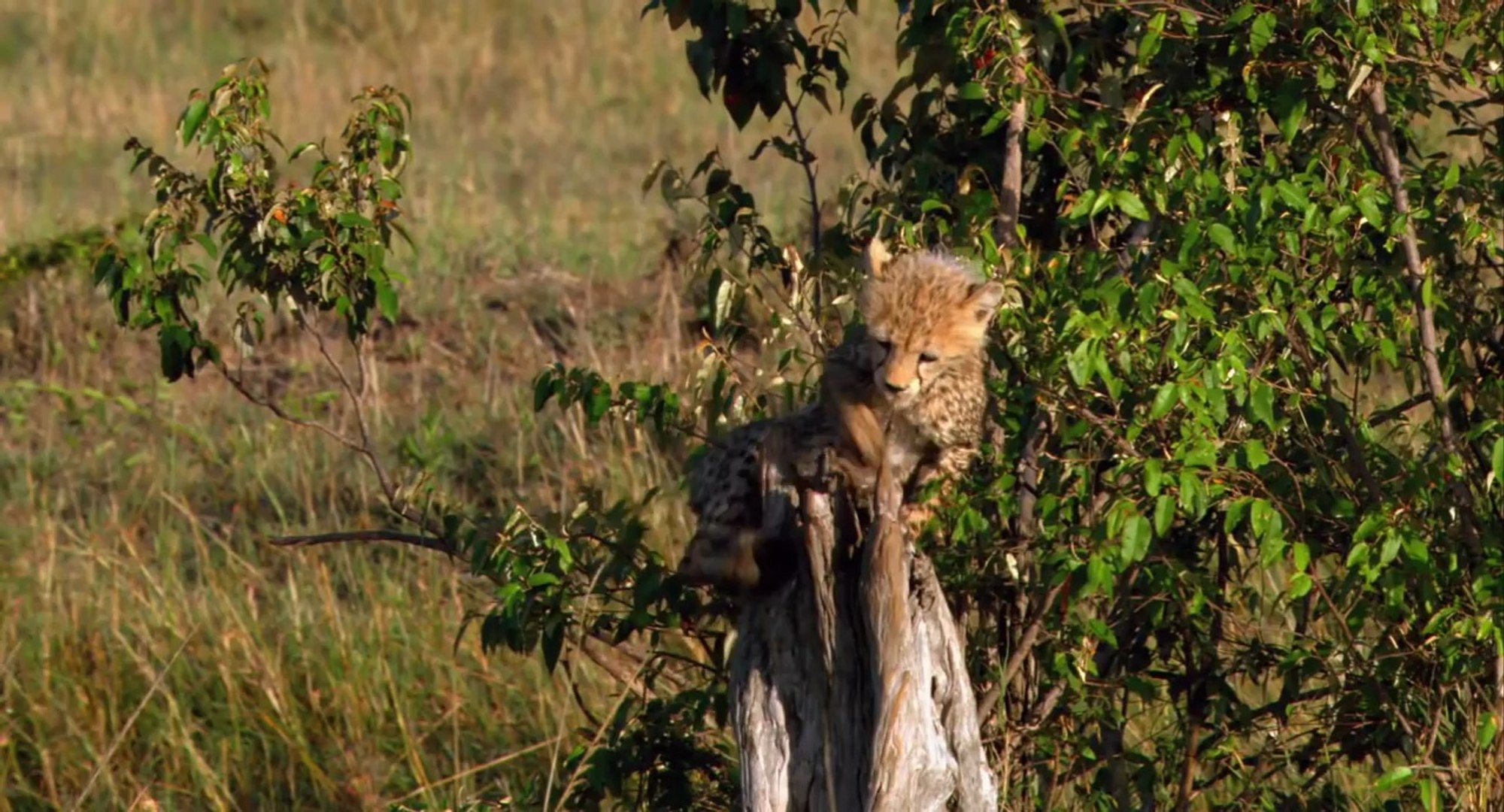 African Cats African Morning - Clip