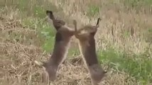 Hahaha guru cha gay Rabbits Fighting