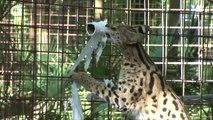 """Un """"très gros chat"""" joue avec du papier toilette!"""