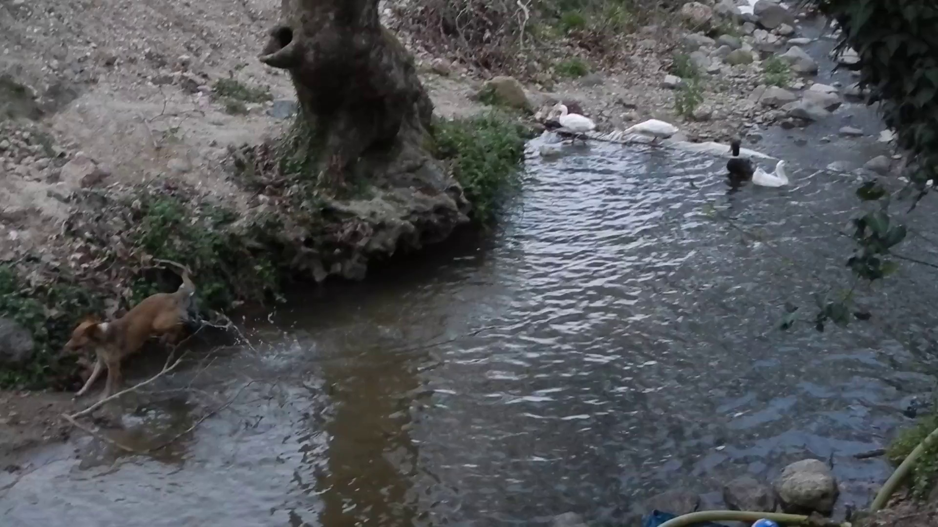 Ducks & Dog Playing
