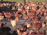 Le poulet paysan du J'Go