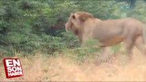 Aslan kral istediğini yapar