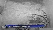 Naissance de deux tigres de Sumatra, une espèce protégée