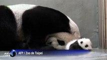 Taiwan: quand bébé panda rencontre maman panda