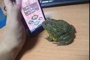 Tabletteki Karıncayı Yemeye Çalışan Kurbağa