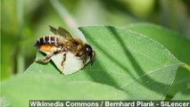 Bee Fossils Provide Insight Into Ice Age Environment