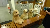 Des chiens prient avant de manger! Marrant...