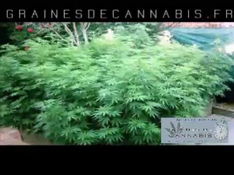 Cannabis autofloraison en extérieur