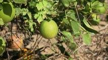 بكتيريا تقضي على اشجار البرتقال في فلوريدا...واسعار العصير ترتفع
