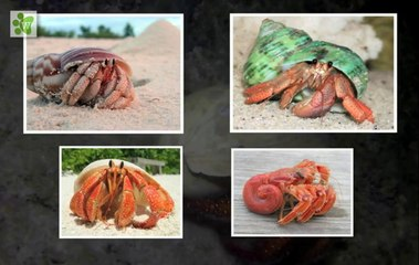Hermit Crab - The Shell Changers