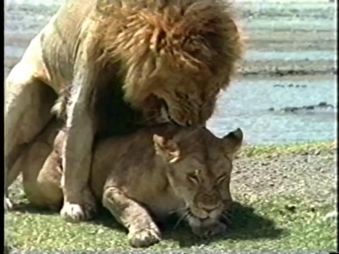 THE LION - AFRICA'S KING OF THE BEASTS - Discovery/Animals/Nature  (documentary)