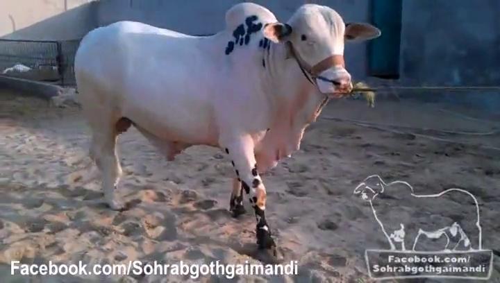 Mian Cattle Farm Desi Bull