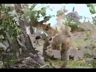 Incredible moment baby baboon escaped lioness that had killed its mother