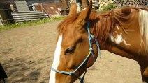 Koně Uhřičice - strakoš American Paint Horse