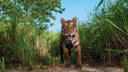 Royal Bengal Tiger-The Last Warrior
