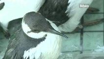 Protection des oiseaux à la Station de la LPO (L''île-Grande)