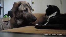 Des chiens font ami-ami avec des chats - Compil d'animaux craquants!