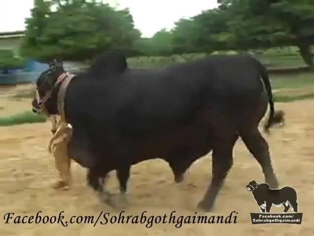 Shah Cattle Farm Bachra 2
