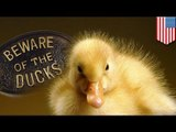 When animals attack! Woman survives vicious duck attack, sues for thousands
