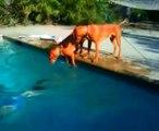 Chiens paniqués en voyant leur maître plonger sous l'eau... Trop mignon!