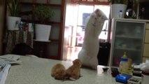 Un chat devient fou en voyant 2 chatons jouer. Trop Mignon!