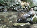 Bébés otaries jouent dans une cascade
