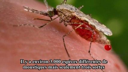Le moustique est l'animal qui tue le plus de personnes au monde