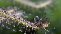 Böcek Avcısı Güneş Gülü