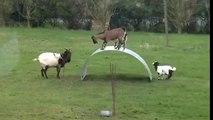 Akrobat Keçiler