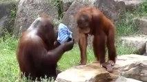 Sıcaktan Bunalan Orangutan Bakın Nasıl Serinlemeye Çalıştı!