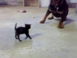 Il gattino più coraggioso del mondo che si fa valere contro un Rottweiler 20 volte più grande