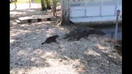 L'incredibile audacia di un gatto che fa scappare due alligatori