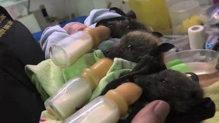 Cuccioli di pipistrelli orfani accuditi e cresciuti