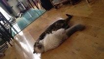 Garde de chat à Paris, échange et jeux entre chats