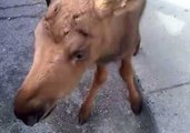 Canadian Best: Man Saves Baby Moose and Takes It to Tim Hortons