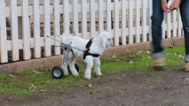 Adorable Handicapped Goat Is Given A Wheelchair