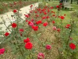 red roses and Pink Rose 'Beauty and maroon roses in garden islamabad - Video Dailymotion