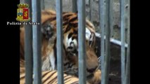 Catturata la tigre fuggita dal circo nel Napoletano