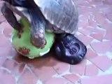 Drôle Horny Turtle - Little Turtle aime son jouet Ball - Tortues