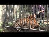 San Giuseppe Vesuviano (NA) - Tigre scappa dal circo, ritrovata (26.05.14)