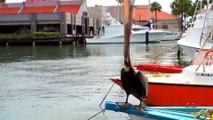 Weird and Freaky Pelican   Alien Bird Attacks!