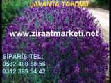lavanta-tohumu-fiyatları,lavanta-tohumu-satışı,lavanta-tohumu-satış,lavanta-tohumları
